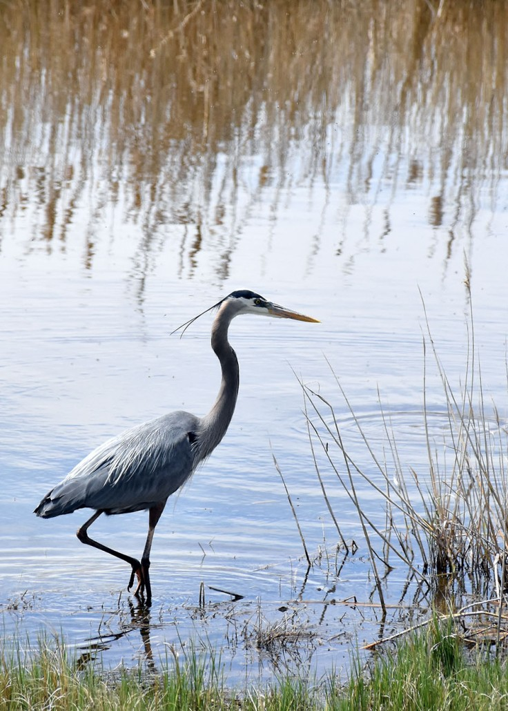 GreatBlueHeron1
